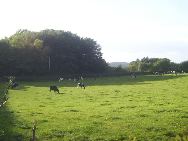 Merrily Munching Cows