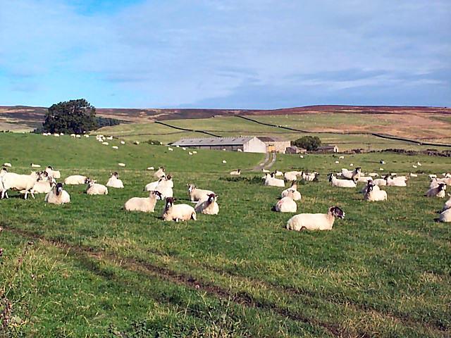 Sheep near East Moor House Farm