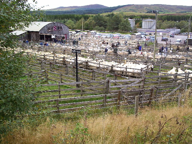 A Sheep Sale at Lairg Marketplace