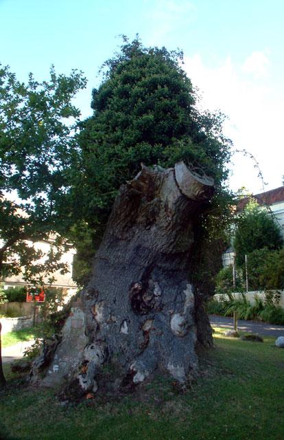 Queen Elizabeth's Oak, Northiam TN31