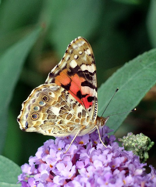 Painted Lady (Cynthia cardui) underside, on buddleia