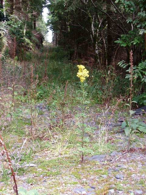 Overgrown forestry track in Coed Maes y Pandy