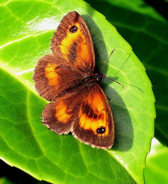 Gatekeeper (Pyronia tithonus), male.