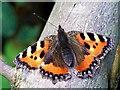 SK5243 : Small Tortoiseshell (Aglais urticae) by Lynne Kirton