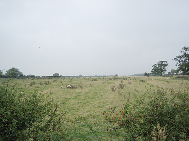 Sheep Grazing near Oxenton