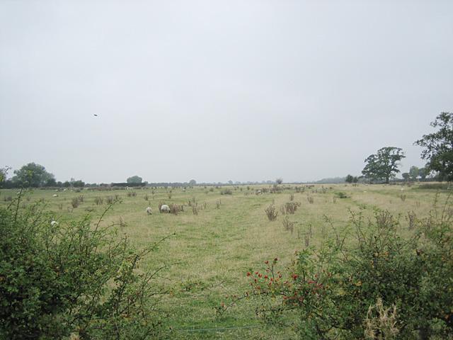 Sheep Grazing near Oxenton