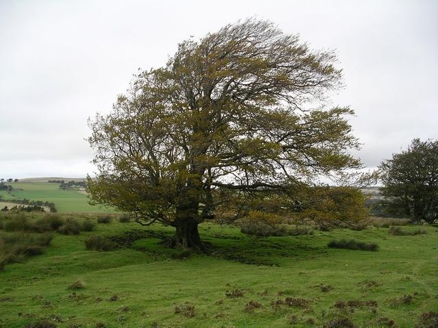 Beech Tree, near Cleuch Burn
