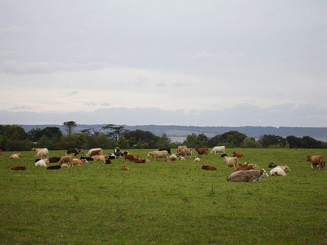 Cattle at Hermitage Farm