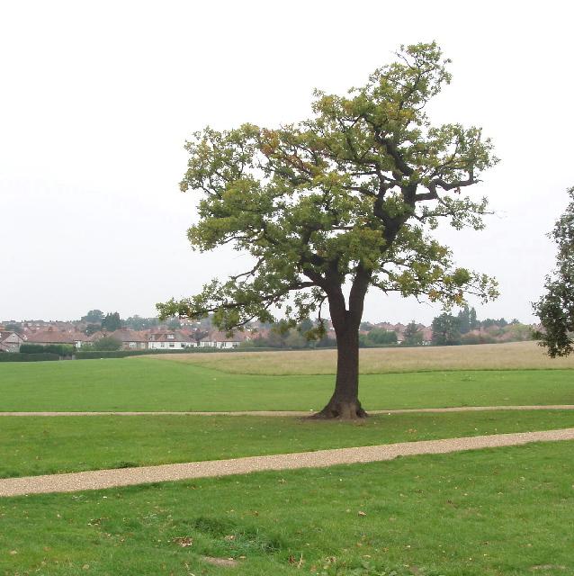 Oak tree in Gladstone Park