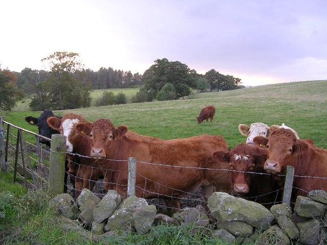 Friendly cattle, Glenorchard Road