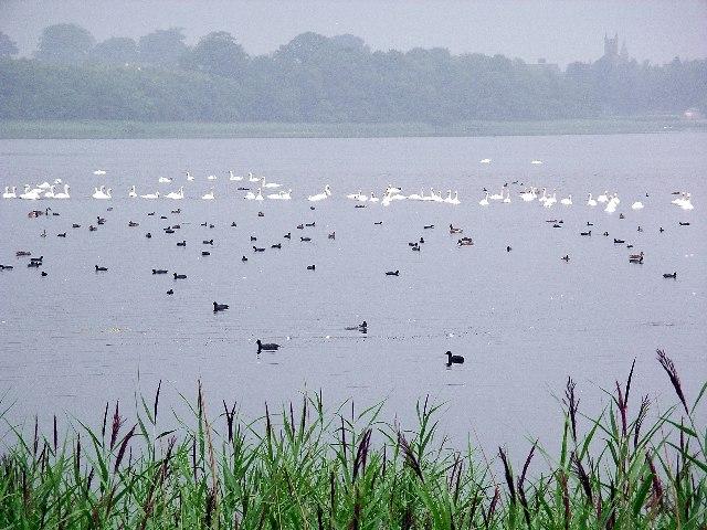 Waterfowl on Castle Loch