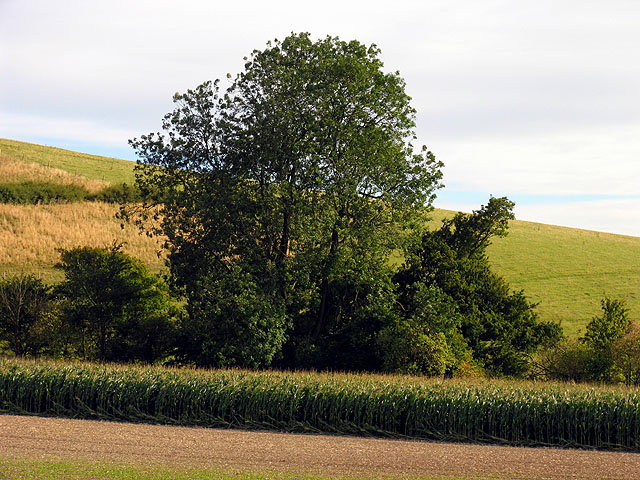 Maize at Combe Bottom