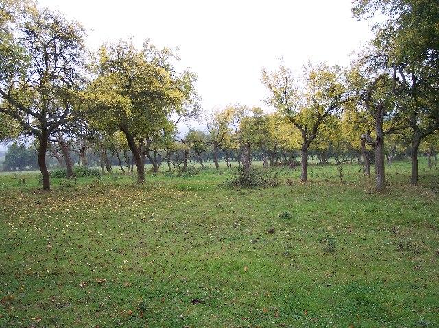 Damson Orchard
