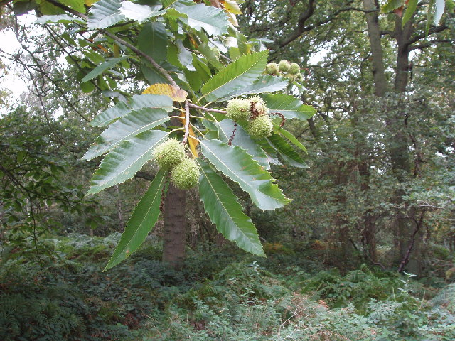 Fruit and nuts of Sweet (Spanish) Chestnut