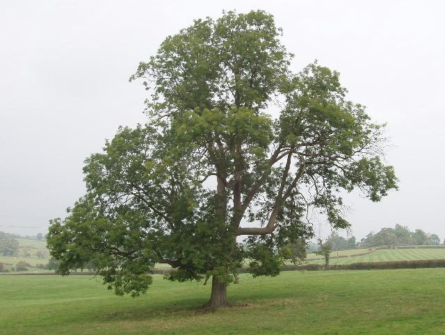 Ash Tree near Bayhurst Wood