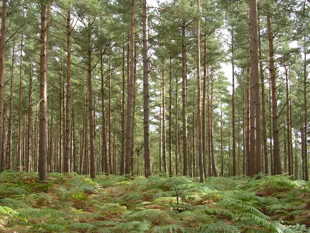 Conifer plantation, Roydon Woods, New Forest