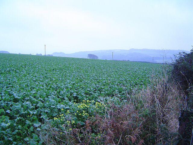 Devon cabbages