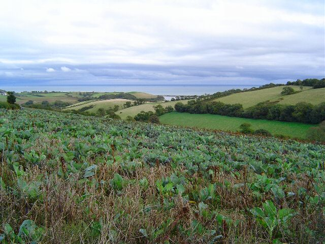 Cabbages in South Devon