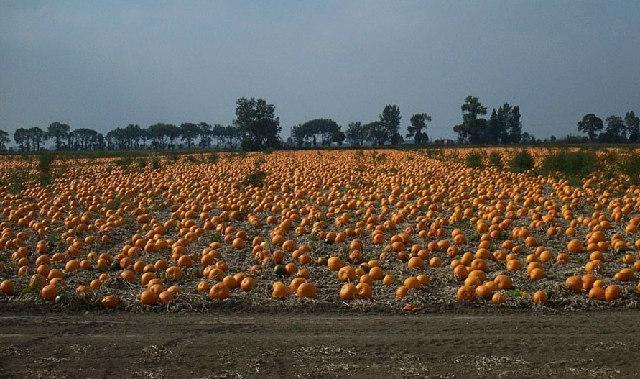 Christchurch: Pumpkin field