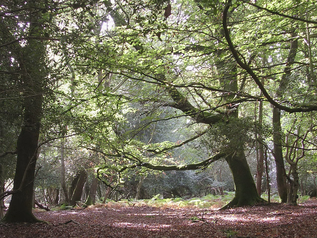 Brook Wood, New Forest