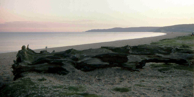 Petrified trees, Slapton Sands, South Devon 1976