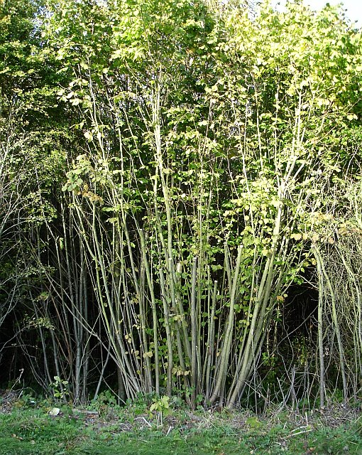 Coppice in Kingswood