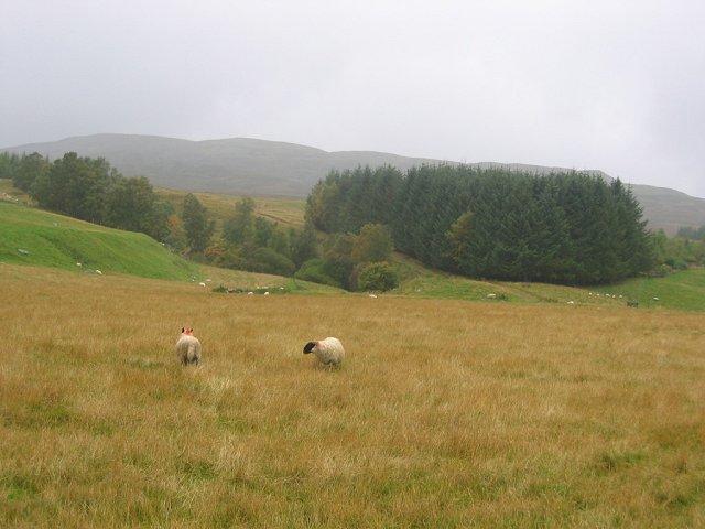 Sheep, Garrow.