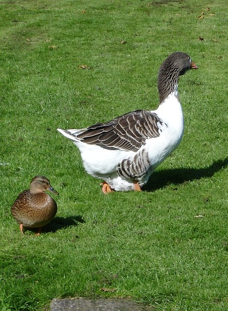 Mallard duck and large Goose
