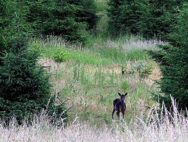 Fallow Deer, Sherwood Pines
