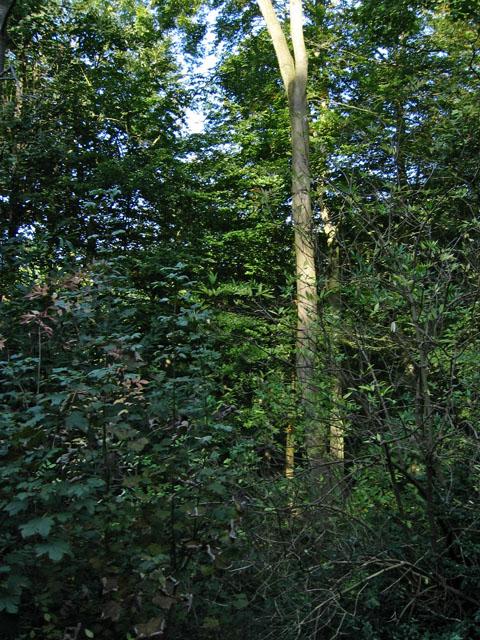 Barkestone Wood, Belvoir Estate