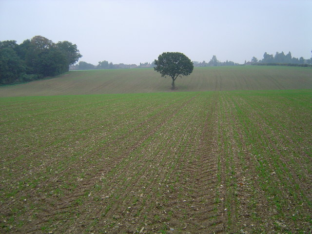 Croxley Green: Lone tree near Dell Wood