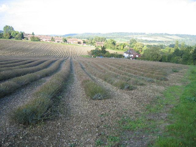 Lavender Fields near Wickham Field