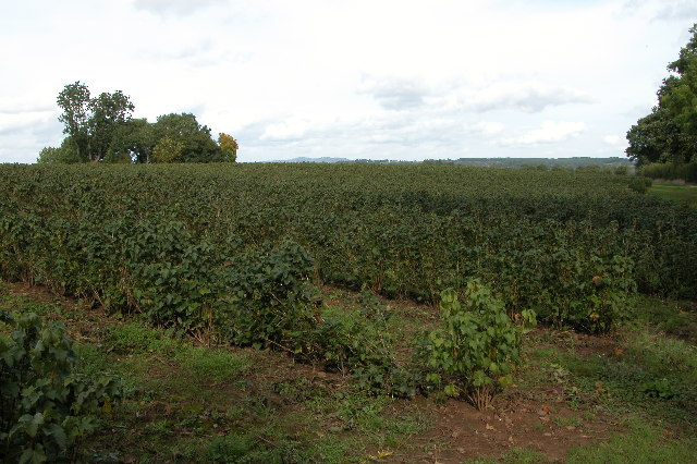 Field of currant bushes at Battle Ridge