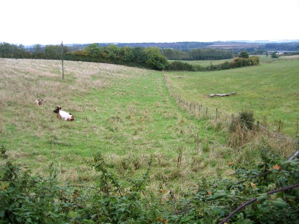 Longhorns taking a rest beside the Greensand Ridge Walk, Clophill, Beds