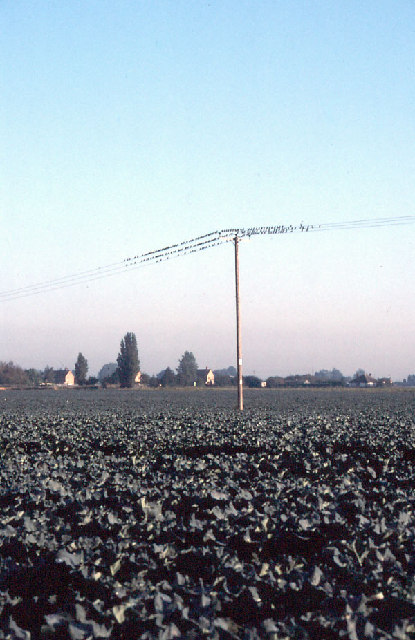 Fenland: cabbages and starlings at Outwell