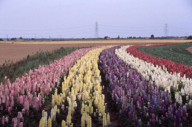 Fenland: lupins in bloom, a crop of nursery stock at Outwell