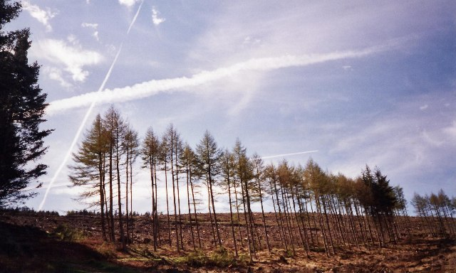A dramatic line of larches in a landscape severely controlled by man
