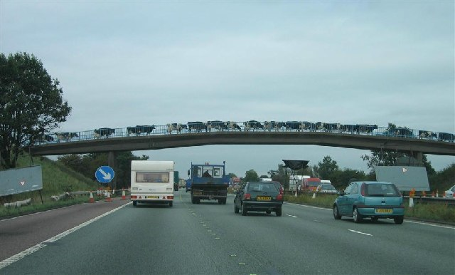 Cattle Crossing the M6