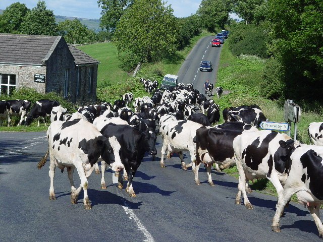 Herding cows near Thoralby