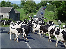 SE0086 : Herding cows near Thoralby by Malcolm Street