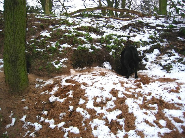 Investigating a Badger Sett