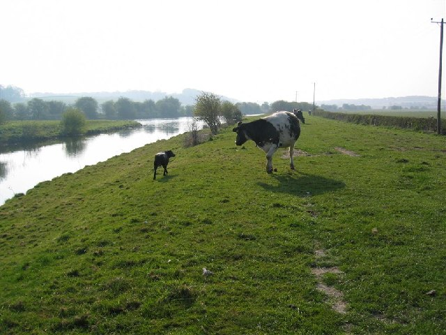 Dog and Cow by the Frodsham Cut