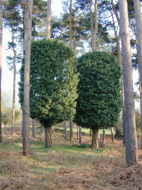 Parasitic Growth on trees in Tunstall Forest