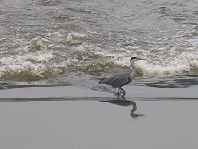 Heron on the Irwell