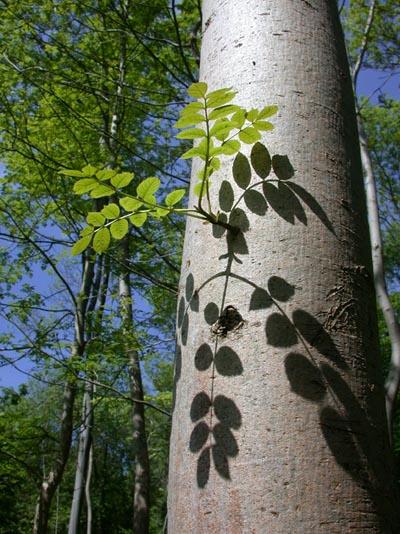 Ash tree, Bedford Purlieus NNR