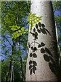 TL0399 : Ash tree, Bedford Purlieus NNR by Katie