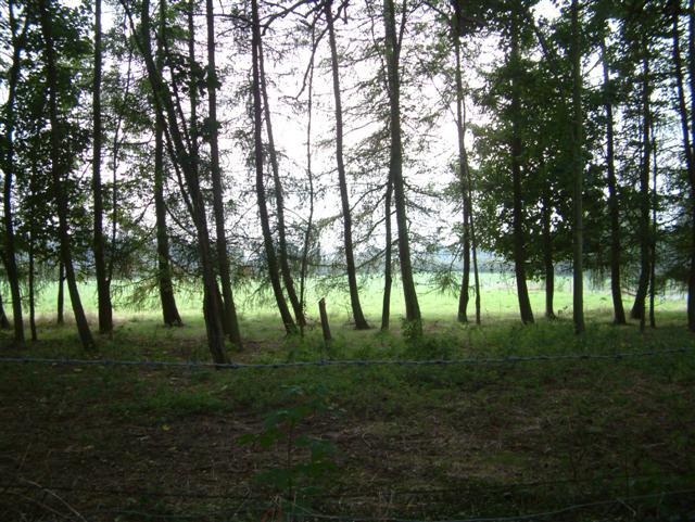 Fir Trees & Pasture