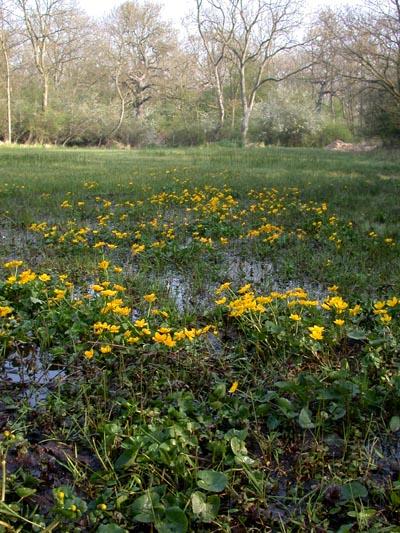Marsh Marigolds at Castor Hanglands