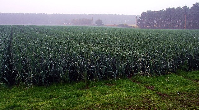 Field of leeks, Sherwood Pines Forest Park