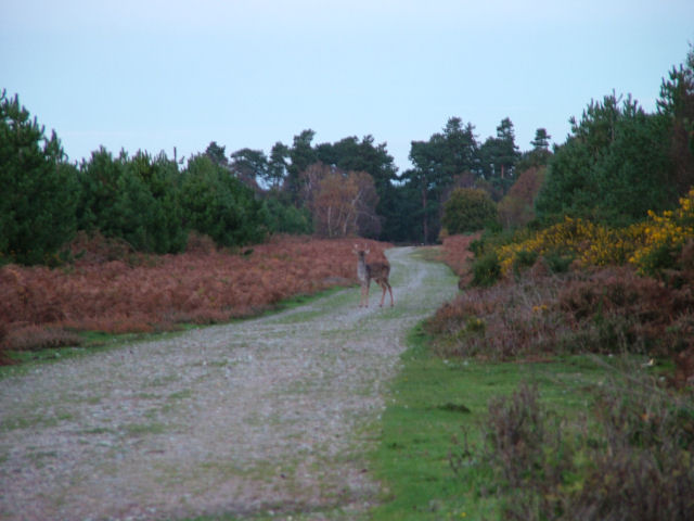 Deer on a Forest Track in Tunstall Forest